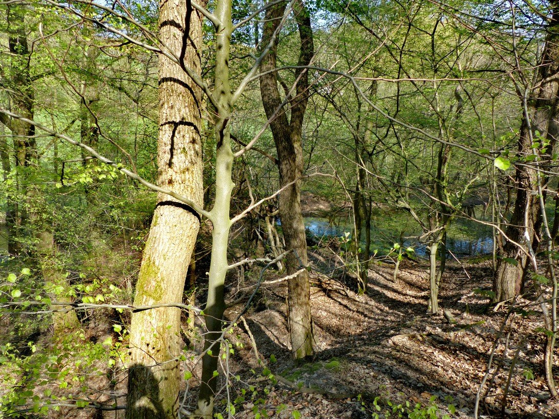 Wald Gelpe