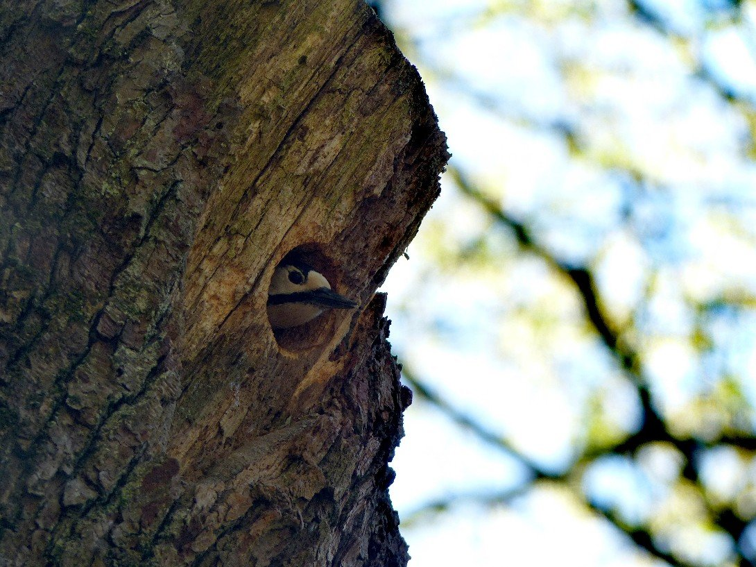 Specht im Baum