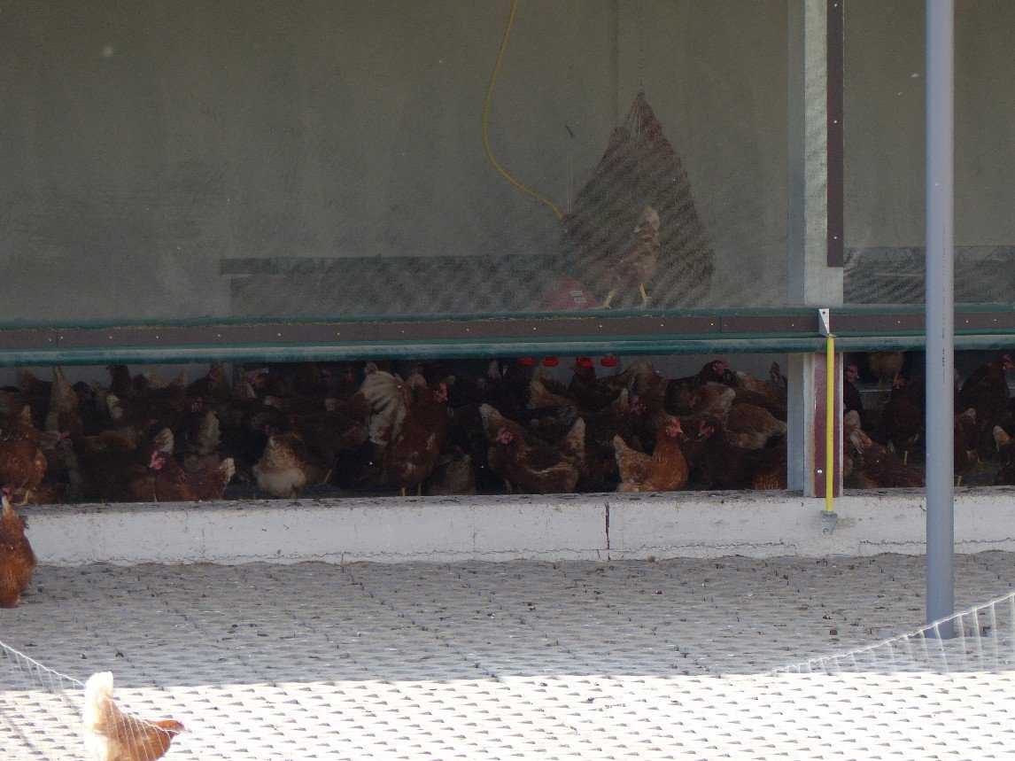 Hühnerfarm drinnen